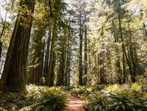 picture of trail through redwood grove