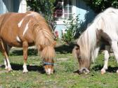 Willowist Miniature Horses