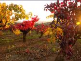 Leone Wine Tours Scenic Vineyard in Fall
