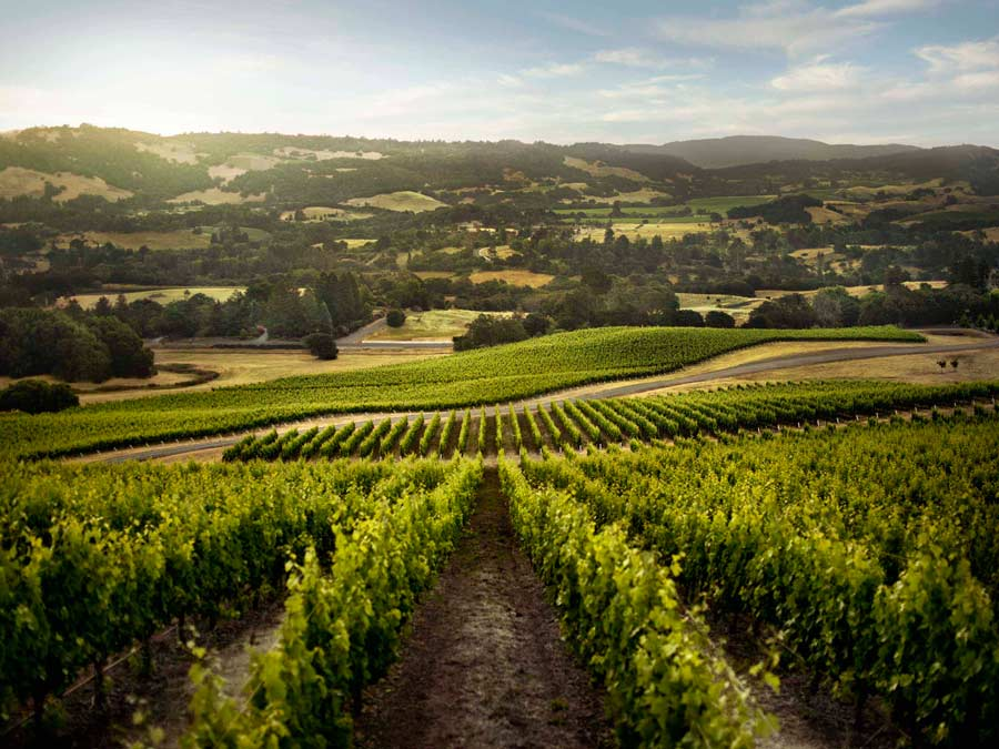 Summer vineyards sparkle in the rising sun